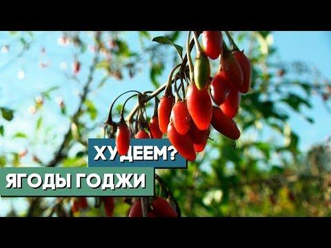 Ягоды годжи. Как приживается в Беларуси экзотика родом из Тибета?