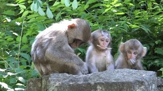 長野県山之内町地獄谷の野猿公苑の猿は野生の猿として自由に生活しあり...