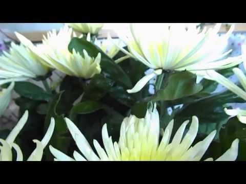 Хризантема садовая многолетняя кустовая Chrysanthemum