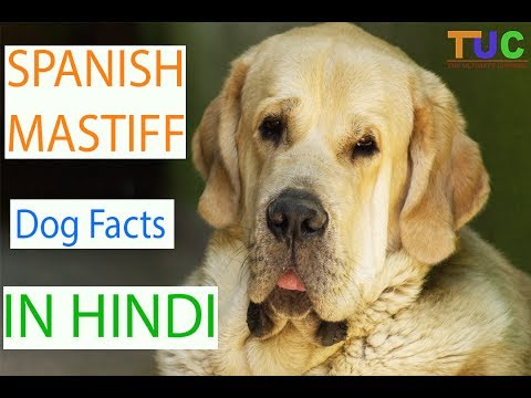 Spanish Mastiff Dog Facts In HINDI | Dog Facts | Popular Dogs | The Ultimate Channel