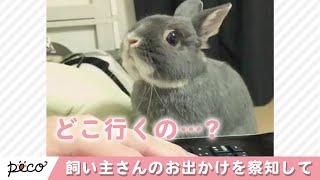 飼い主さんのお出かけを察知したウサギさん…可愛すぎる行かないでアピール【PECO TV】 thumbnail