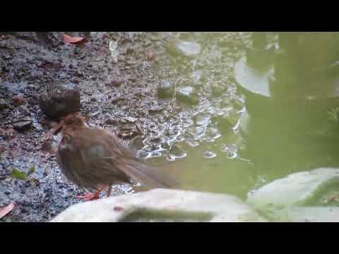 Bathing beauty Common tailorbird, Orthotomus sutorius