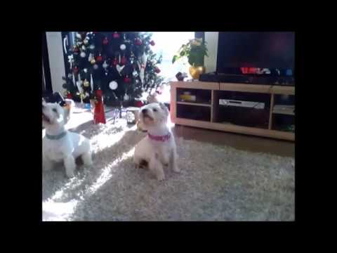 Westie training :)
