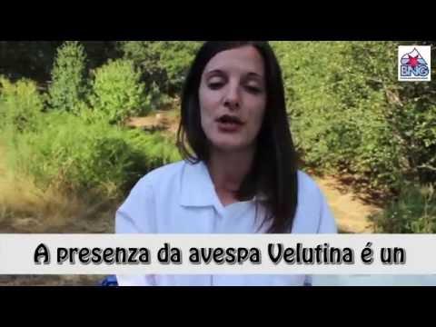 """(1-9-2016)  No tema da avespa Velutina, hai que actuar con seriedade e contar c@s apicultoras/es"""""""