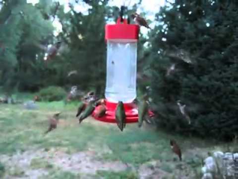 Hummingbird infestation