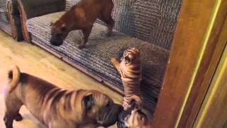 Shar-pei Kennel Ligstars