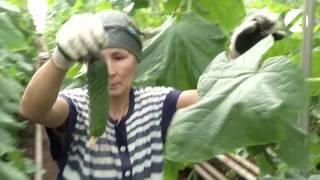 В Камызяке собирают рекордные урожаи тепличных огурцов