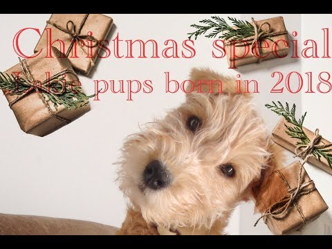 "Lakeland Terrier (Lakies):   ""Pups born in 2018"""