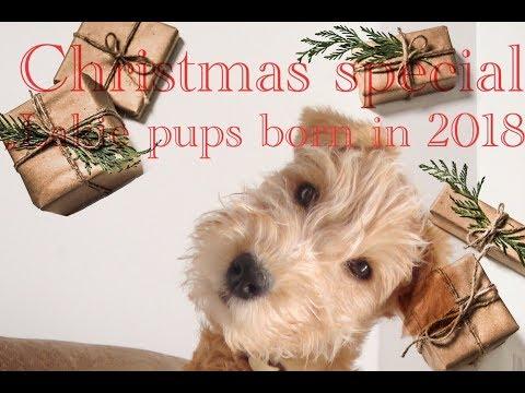 Lakeland Terrier (Lakies):   'Pups born in 2018'