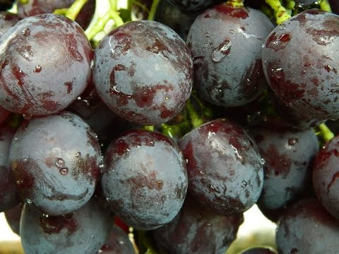 Виноград Рошфор (Grapes Roshfor)» 2015