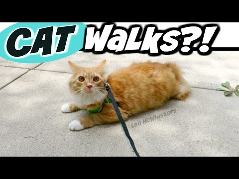 "CAT vs. LEASH - ""Walking"" Leo McWhiskers"