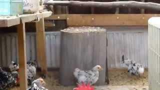 チャボとかいろいろの鶏.