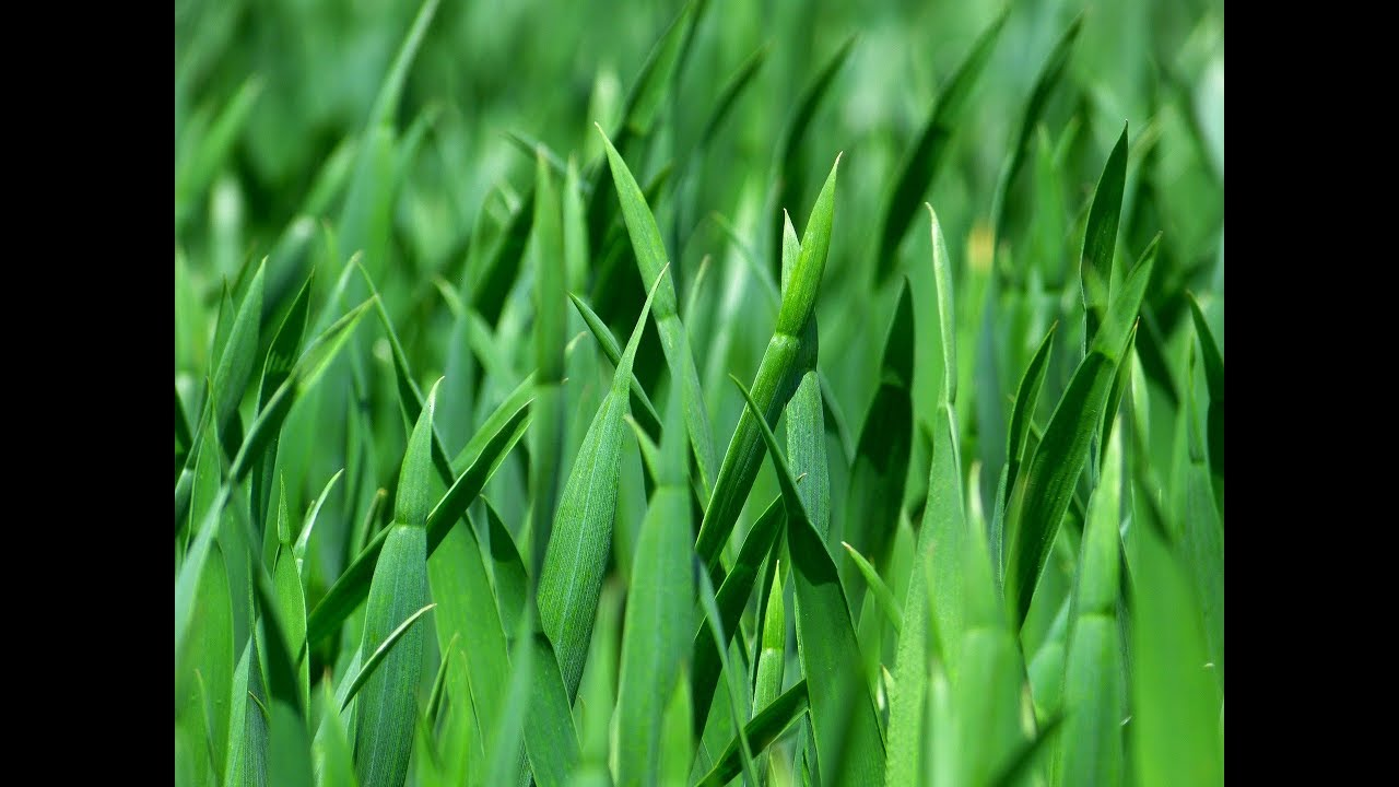 How To Grow Bermuda Grass Easy Tips How To Plant Grass In Summer