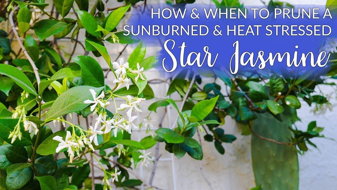 How When To Prune A Sunburned Star Jasmine Confederate Jasmine