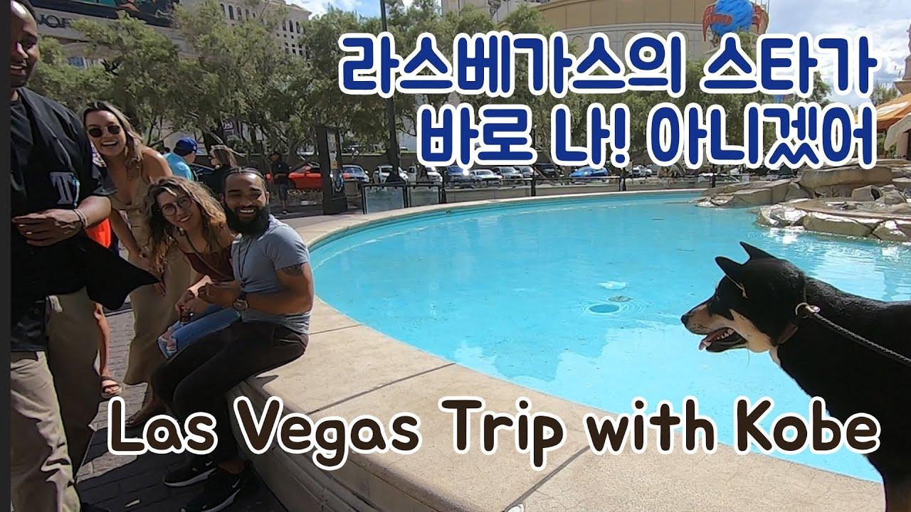라스베가스 갔다가 인기 폭발 진돗개 코비 Las Vegas Star Kobe!