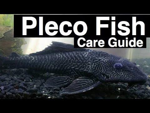 """pleco-fish-care-""""plecostomus""""-tank-size-&-habitat"""