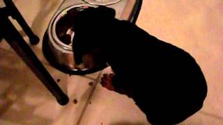 Lady My Female Doberman Pinscher Puppy's First Meal At Her New Home Part 2