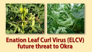 Enation Leaf Curl Virus (ELCV) future threat to Okra