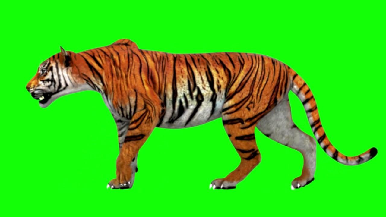 Green Screen Tiger [HD]