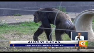 Olpejeta Chimps