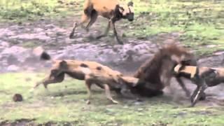 Собаки живьем едят гиену  лучшие бои животных  Horror of the Dog eat a hyena WikiBit me