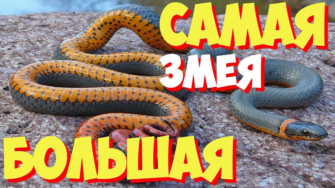 Питон olx. Ua. Продам королевского питона (шаровидный питон). Тигровый питон ручные разводные python malurus bivitatus het albina. В сервисе объявлений olx. Ua украина легко и быстро можно купить рептилию.