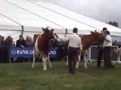 Ayrshire cows at Ayr County show