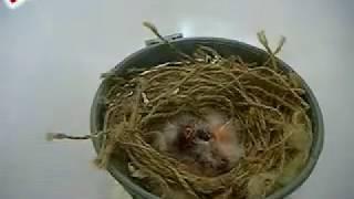 الحلقة رقم 3   إطعام فراخ الكناري handfeesing canarybird