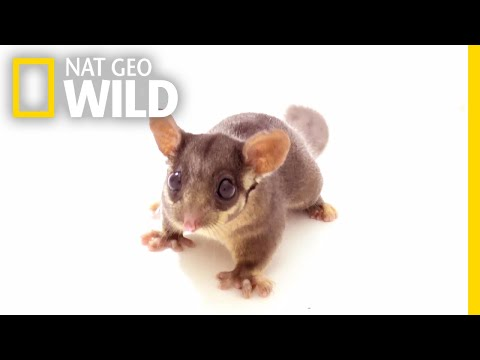 'Forest Fairy' Joins as 7,000th Animal in Nat Geo's Photo Ark   Nat Geo Wild