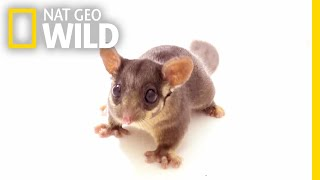 'Forest Fairy' Joins as 7,000th Animal in Nat Geo's Photo Ark | Nat Geo Wild thumbnail