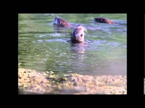 Playful River Otters Fishing For Crayfish