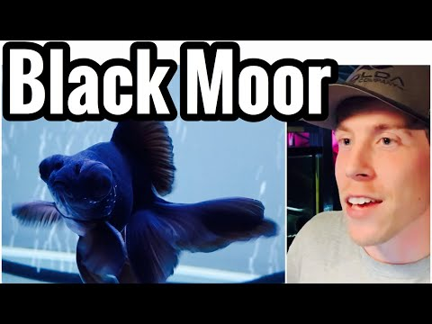 Black Moor Goldfish Care - Tank Mates, Size, & Food