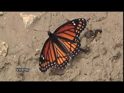 The Viceroy Butterfly