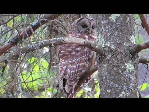 female barred (hoot) owl