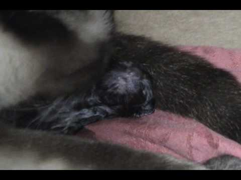 Cat Giving Birth & Eating Stillborn Kitten