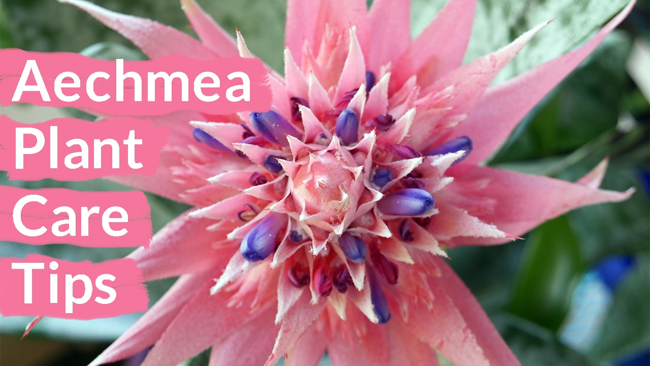 Aechmea Plant Care Tips The Bromeliad W The Pink Flower Thats