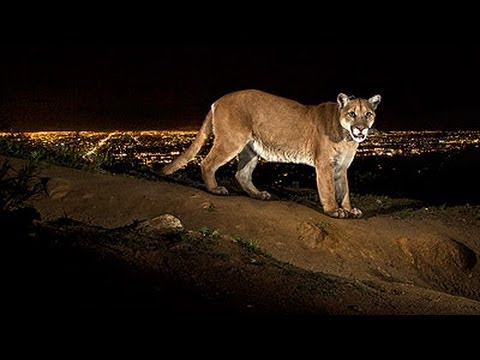 How National Geographic photographer captures images of Griffith Park mountain lion