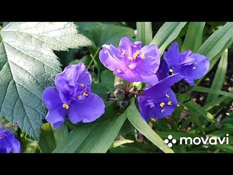 Вопрос: Садовая аренария, что за растение?