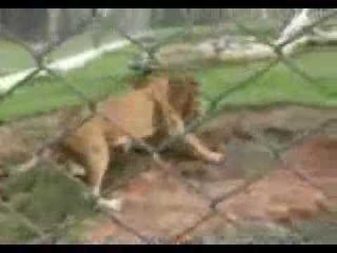 Circus Lion Freed from Cage