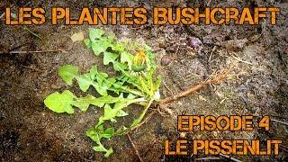 Le pissenlit (plante comestible et médicinale)