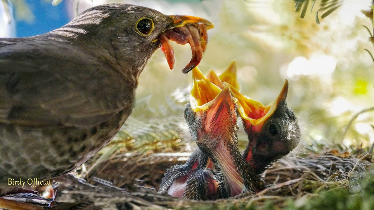 Bird Feeding Babies   Sparrow Bird Feeding Baby Chicks In ...
