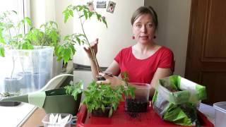 ТОМАТЫ в ПАКЕТАХ / ПРОСТО вырастим ПОМИДОРЫ. 🍅 2. Пересадка  / SIMPLY WAY TO GROW TOMATOES(В этом видео я просто продолжаю выращивать томаты или помидоры, НО использую один интересный приём, который..., 2016-04-13T13:03:38.000Z)