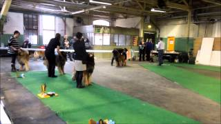 LEONBERGER DOGSHOW SWEDEN FEB 2013 BEST MALE COMP..
