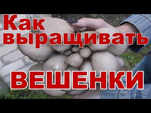 выращивание грибов вешенка в питере