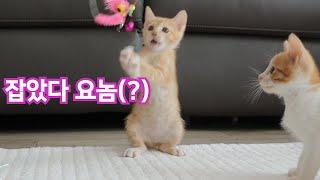 아장아장 걸어서 거실에 진출한 아기고양이 츄남매! 카레…