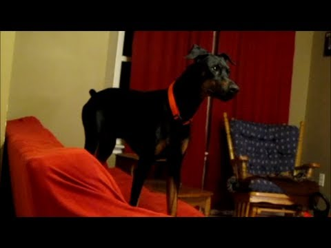 Doberman goes crazy and halloween costume video & Doberman goes crazy and halloween costume video - YouTube