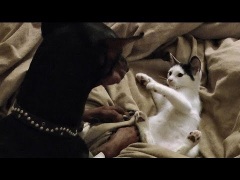 Kitten vs. Doberman... in bed