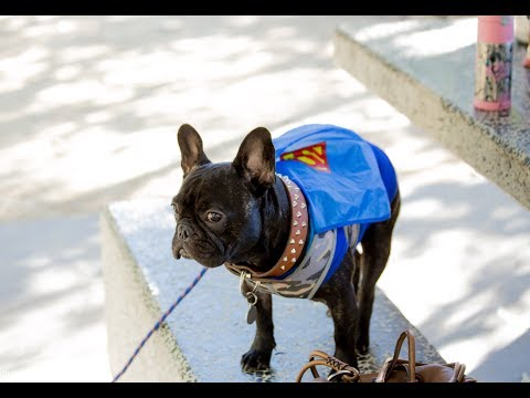 French bullDog - Gargamel have new friends at Woof- Fest