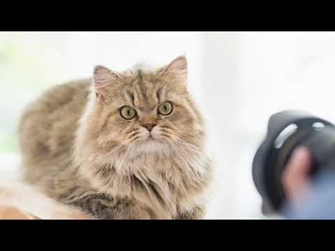 Persian Cat overview | things to know about persian cats