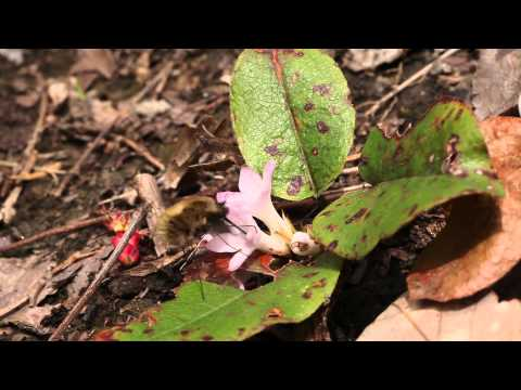 Bee fly, Bombylius major visits trailing arbutus